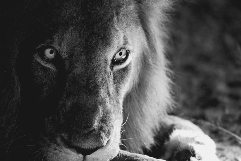 night_lion_king_133388559